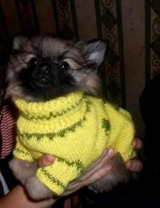 Шпиц в вязаном спицами свитере - ручная работа