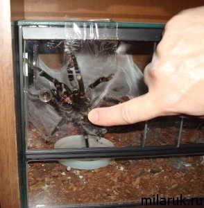 паук фотографии,паутина,террариум,рассказ о пауках,животные