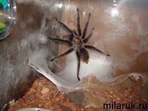 паутина паука,террариум,паук,паук фотографии,рассказ о пауках